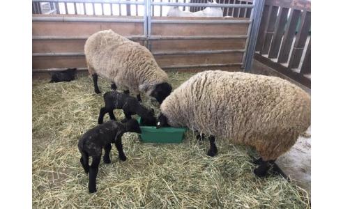 アグリパークに3匹の子羊が誕生!(ゆうなびラジオ&テレビ)