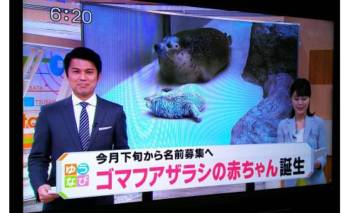ゴマフアザラシの赤ちゃん誕生!(ゆうなび)