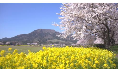 桜と菜の花のコラボ第2弾!(BSNNEWSゆうなび)