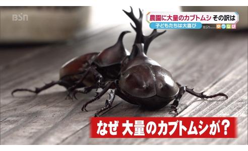 農園にカブトムシ大発生のなぜ!【8/12ゆうなび】