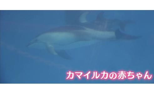 カマイルカの赤ちゃん 25日から一般公開 マリンピア日本海